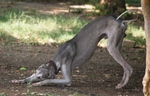 Nice Mudhol Hound dog