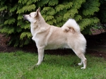Nice Norwegian Buhund dog