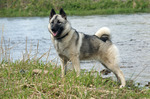 Nice Norwegian Elkhound dog