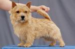 Nice Norwich Terrier