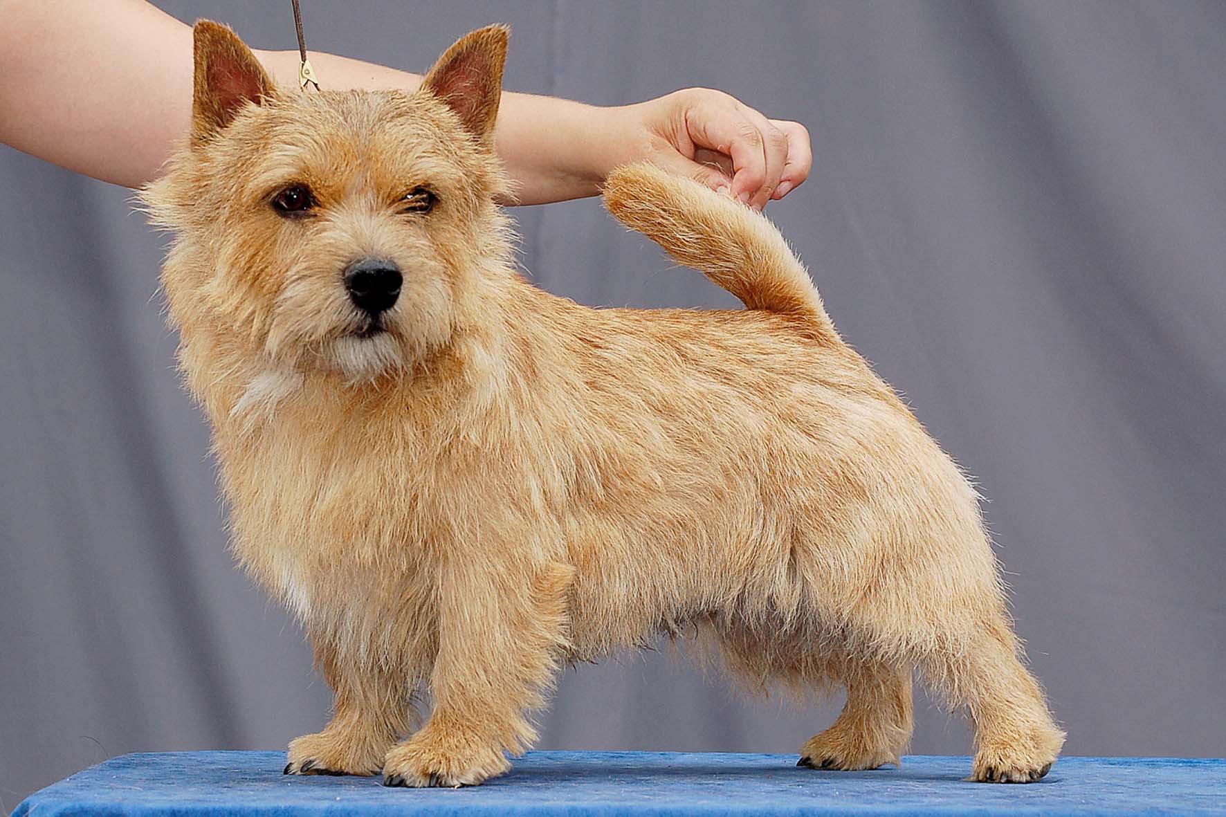Nice Norwich Terrier  wallpaper