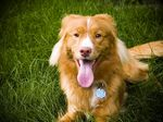 Nice Nova Scotia Duck-Tolling Retriever dog