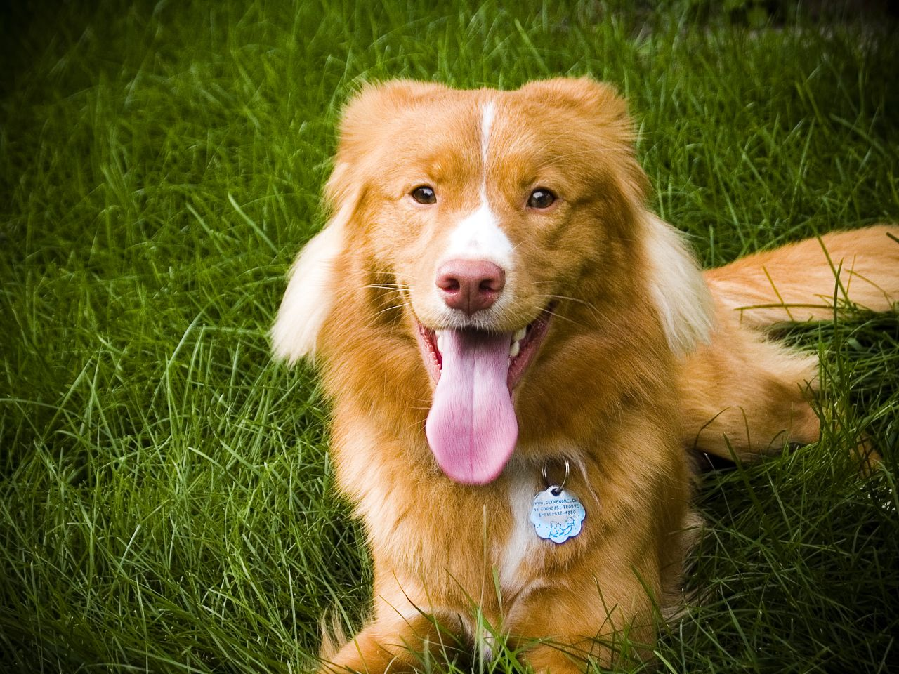 Nice Nova Scotia Duck-Tolling Retriever dog wallpaper