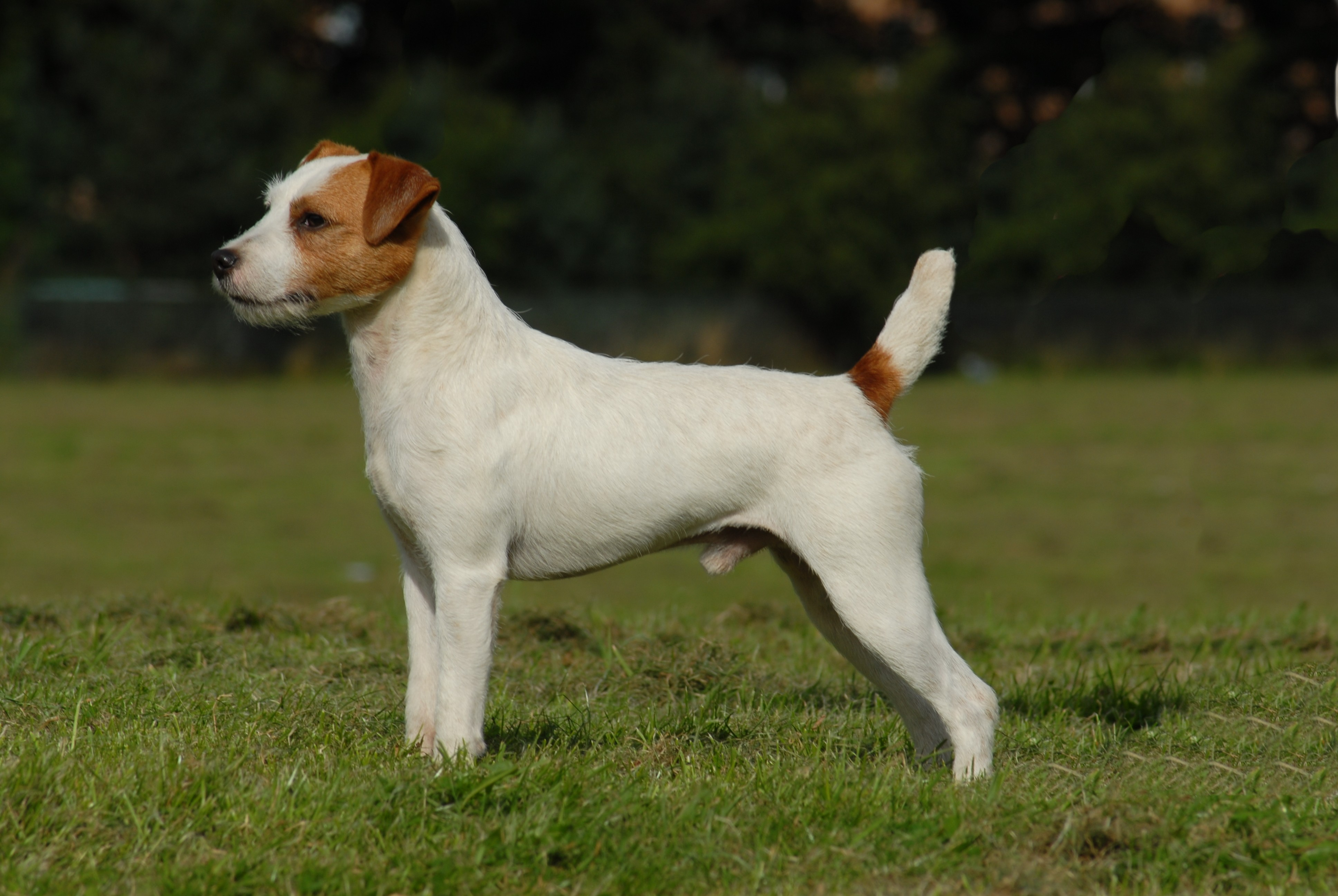 Nice Parson Russell Terrier wallpaper