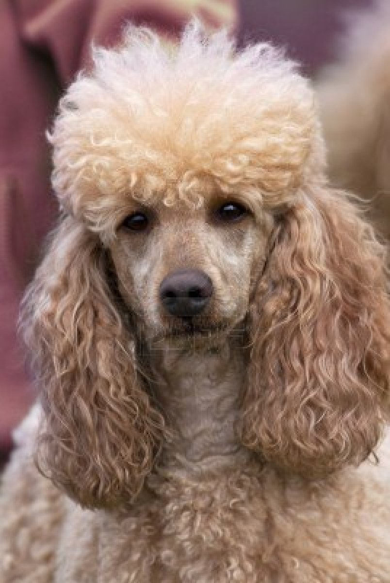 Nice Poodle dog  wallpaper