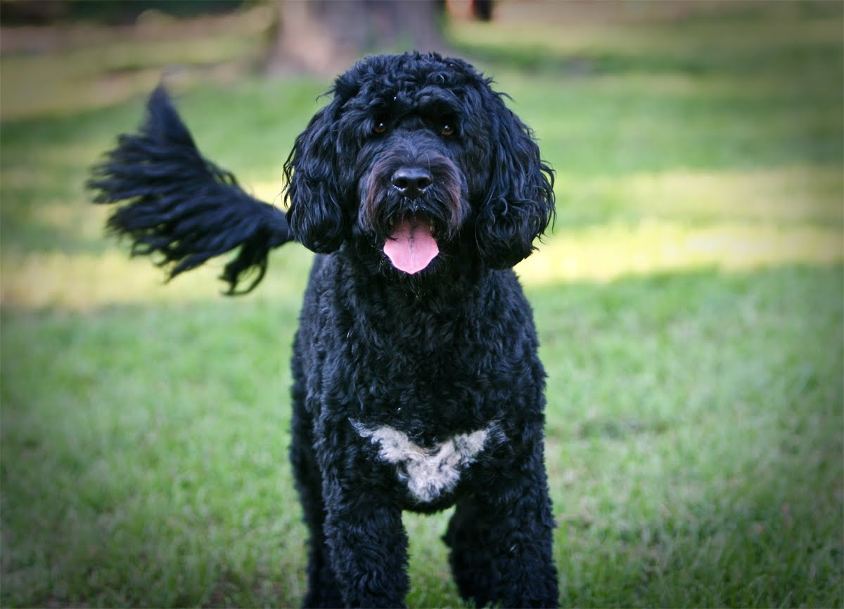 Nice Portuguese Water Dog  wallpaper
