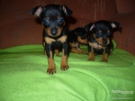 Nice Pražský Krysařík puppies