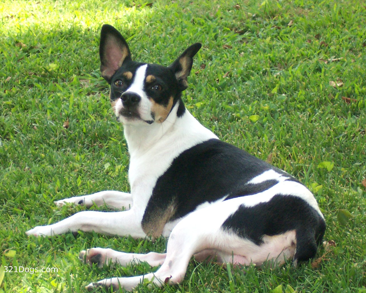 Nice Rat Terrier dog  wallpaper
