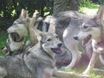 Nice Saarlooswolfhond dogs