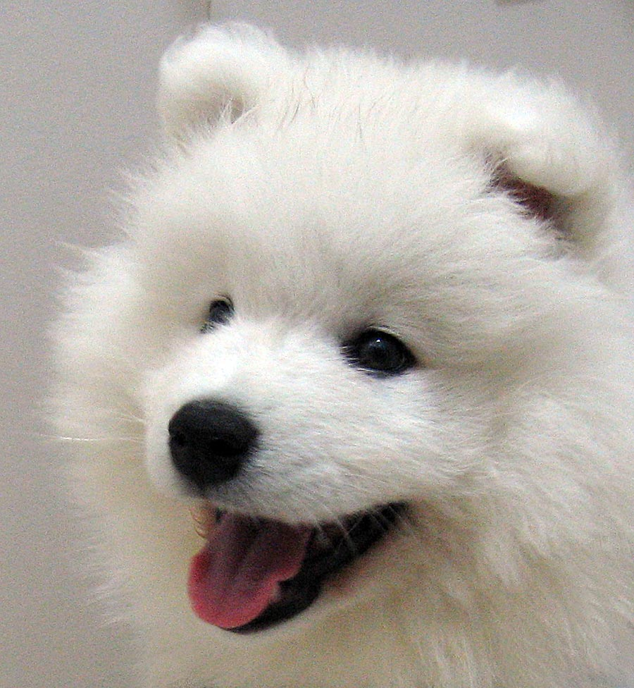 Nice Samoyed dog wallpaper