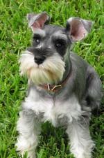 Nice Schnauzer, Standard dog
