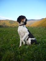 Nice Schweizer Laufhund dog