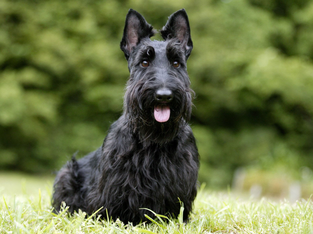 Nice Scottish Terrier dog wallpaper