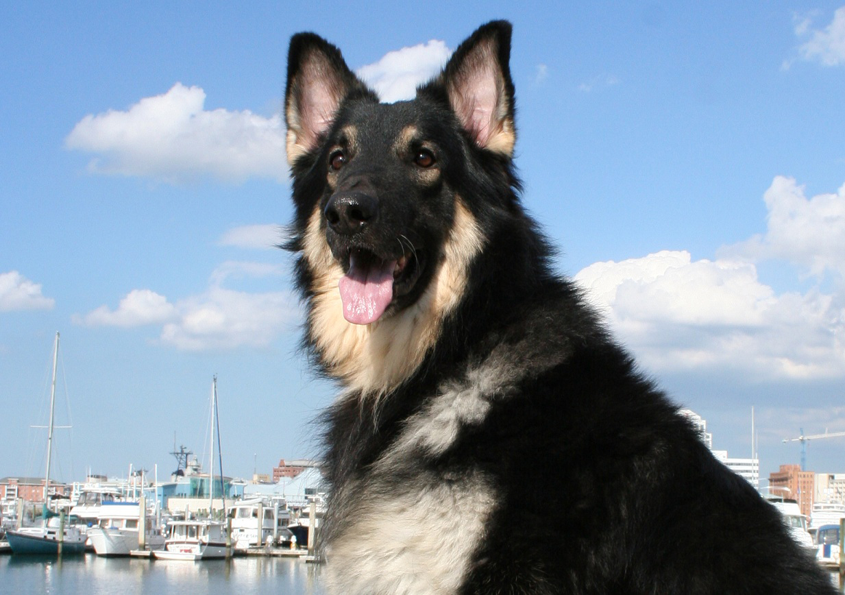 Nice Shiloh Shepherd Dog  wallpaper