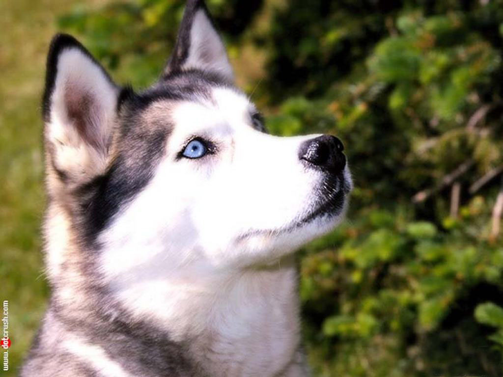 Nice Siberian Husky dog wallpaper