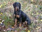 Nice Slovensky Kopov dog