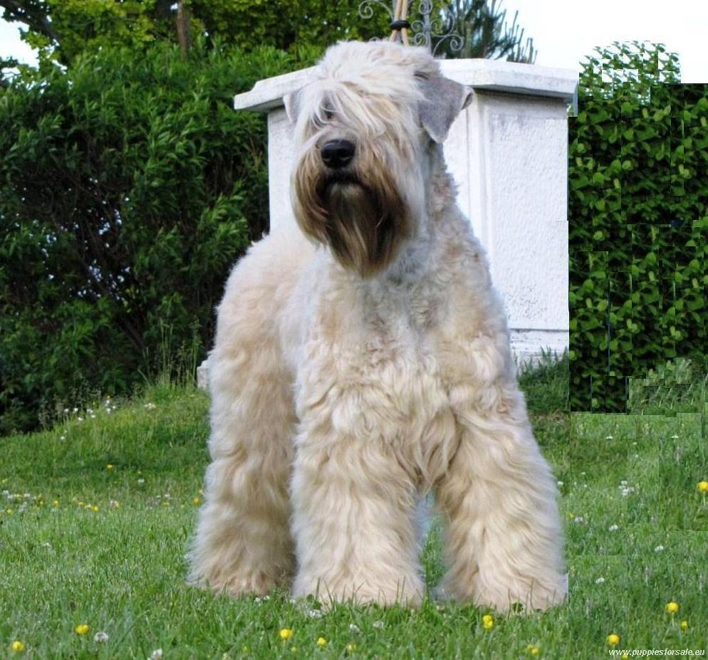 Nice Soft-Coated Wheaten Terrier Photo And Wallpaper