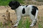 Nice Stabyhoun puppy