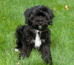 Nice Tibetan Terrier dog