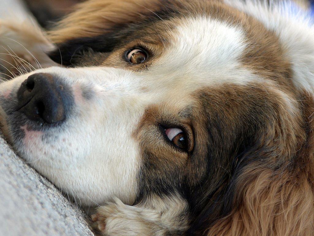 Милая собака торньяк фото