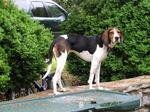 Nice Treeing Walker Coonhound dog
