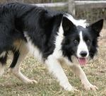 Nice Welsh Sheepdog