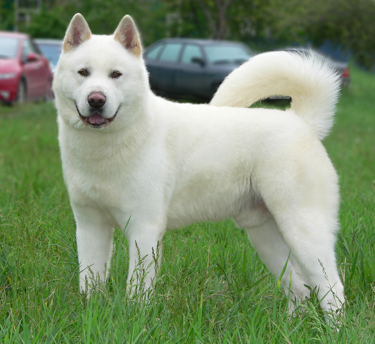 Japanese Names For Male Akita Dogs
