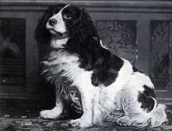Norfolk Spaniel wallpaper