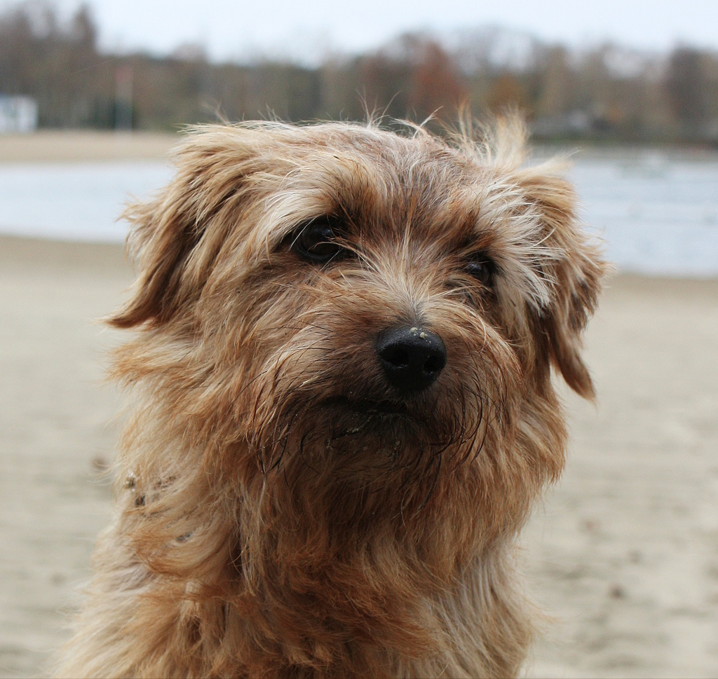 Norfolk Terrier dog face wallpaper