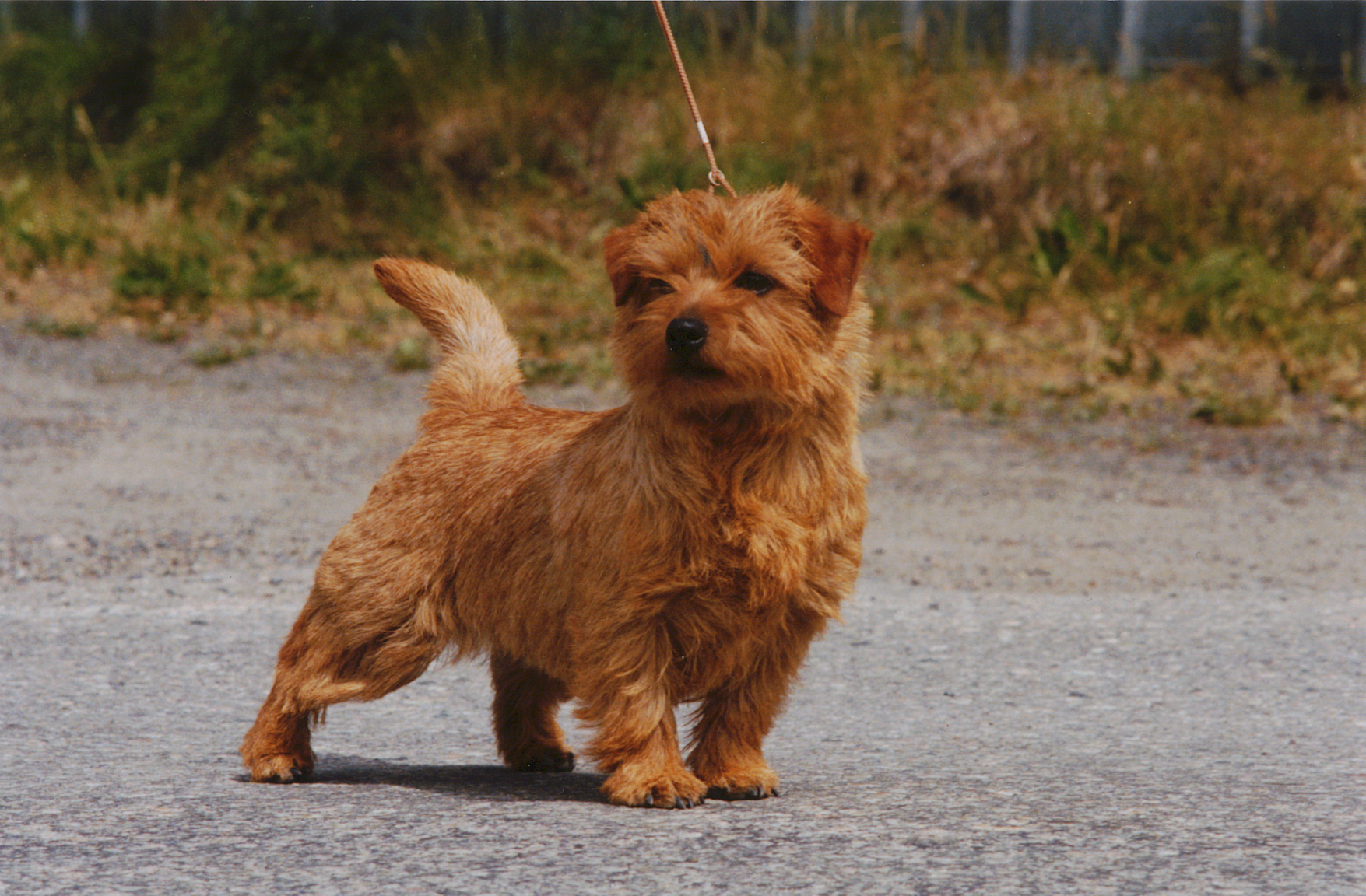 Norfolk Terrier dog on the road wallpaper
