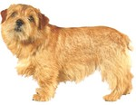 Norfolk Terrier dog portrait