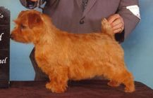 Norfolk Terrier wallpaper