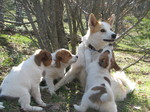 Norrbottenspets dog with her puppies