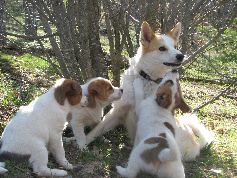 Норботтенская лайка с щенками фото