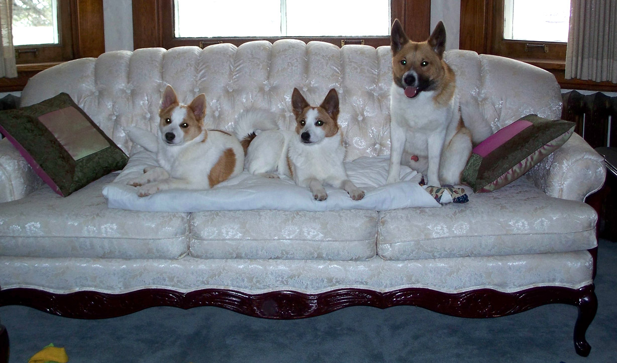 Norrbottenspets dogs on the couch wallpaper