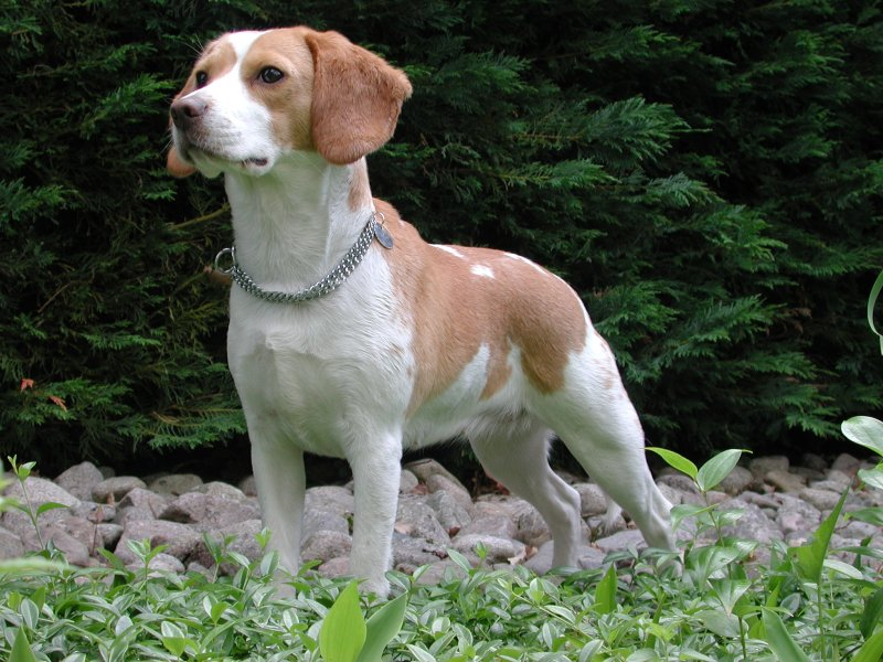 North Country Beagle wallpaper
