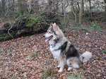 Northern Inuit Dog in the forest