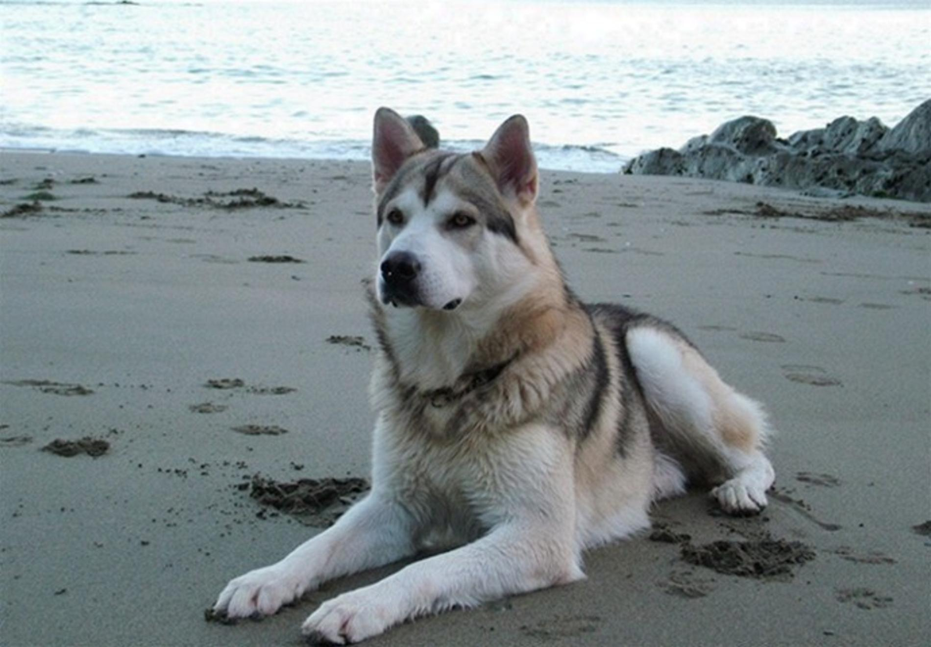 Northern Inuit Dog on the beach wallpaper