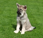 Norwegian Elkhound on the grass