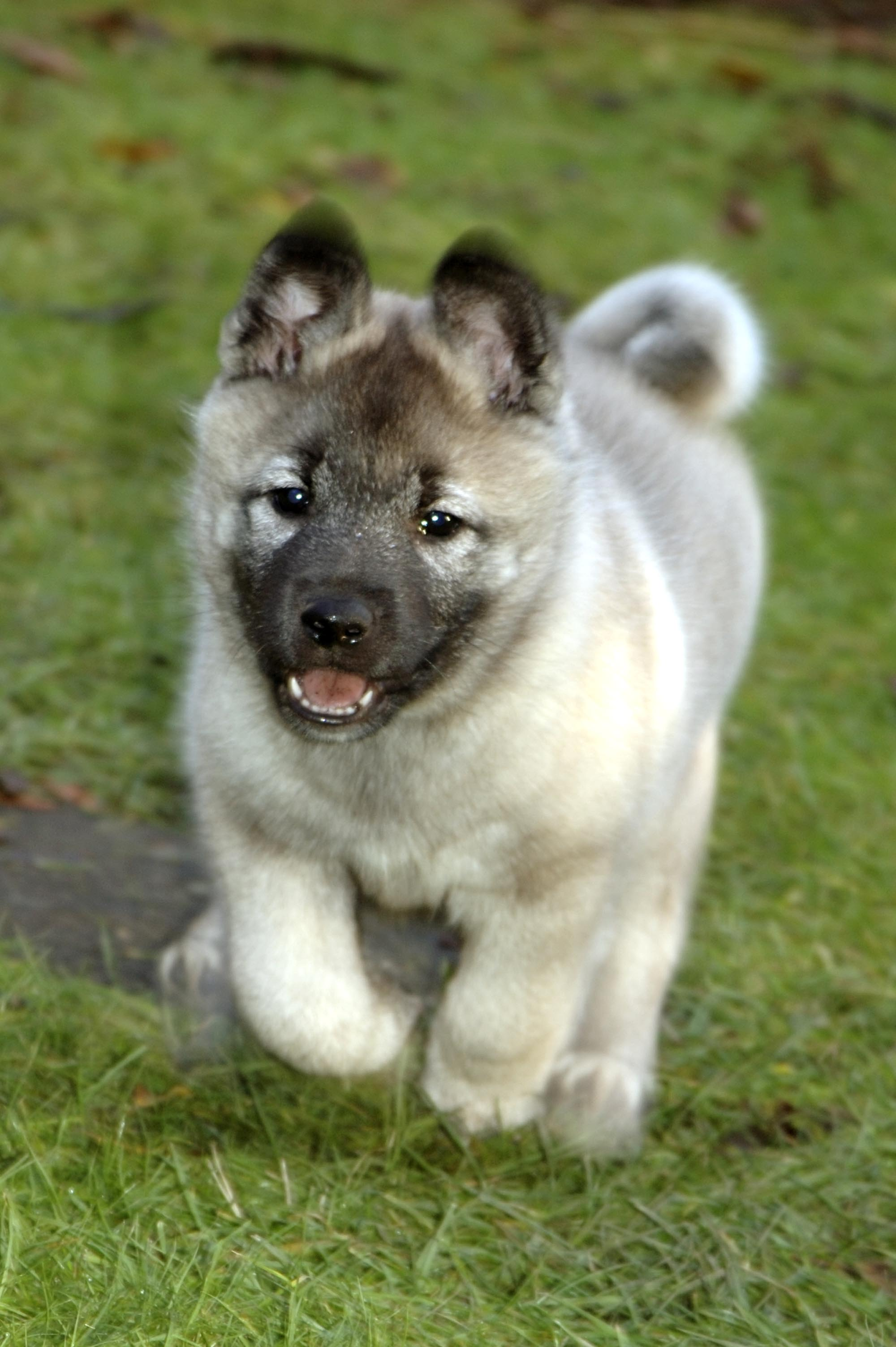 Norwegian Elkhound puppy wallpaper