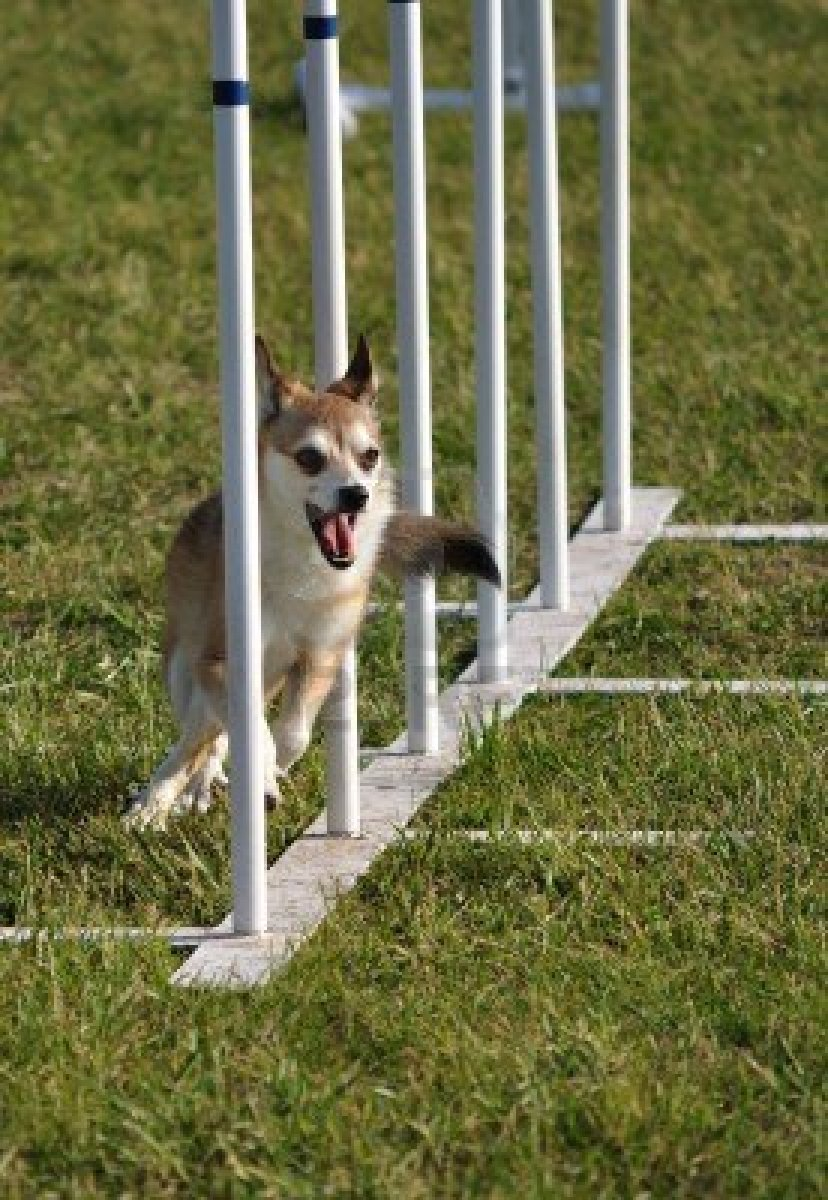 Norwegian Lundehund dog in competition wallpaper