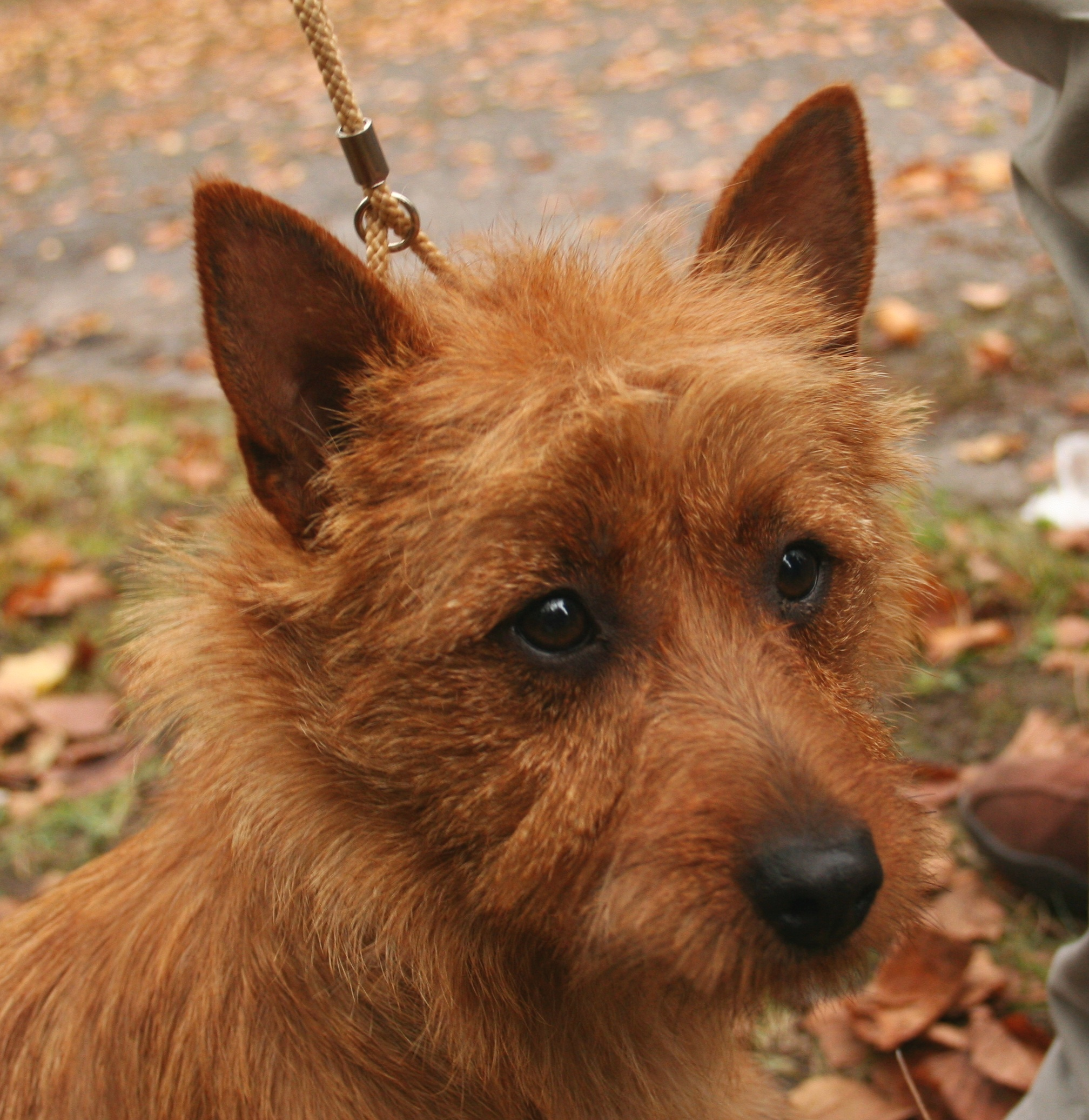 Norwich Terrier dog face wallpaper