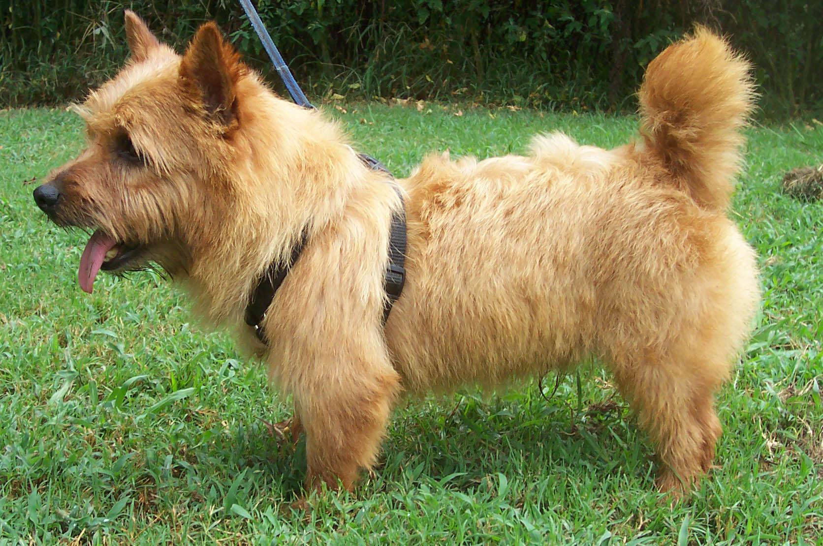 Norwich Terrier dog on the grass wallpaper