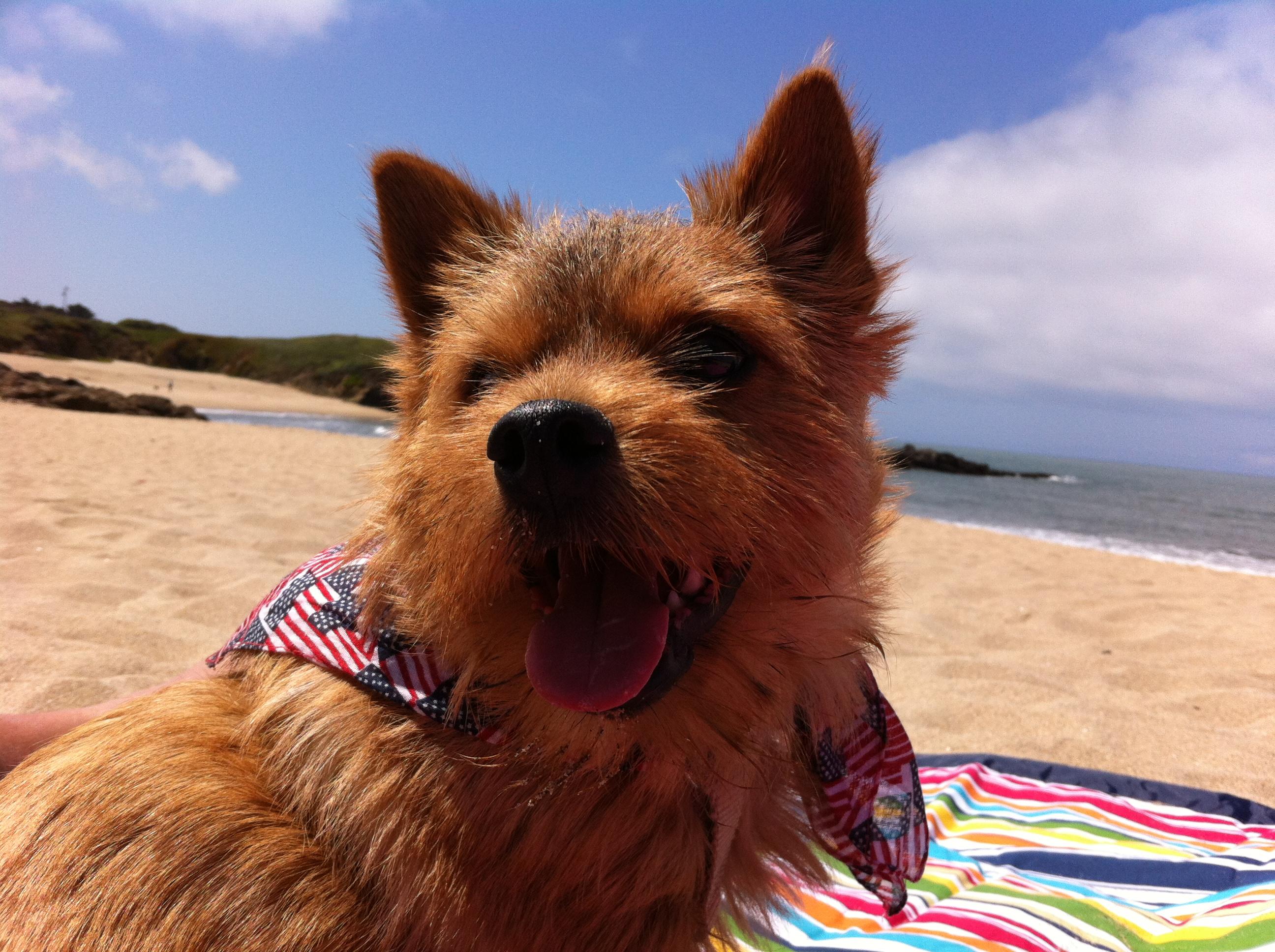 Norwich Terrier on the beach wallpaper