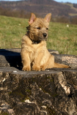 Norwich Terrier on the stump