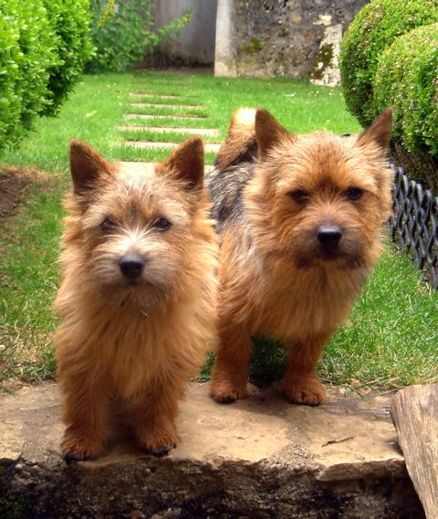Norwich Terrier wallpaper