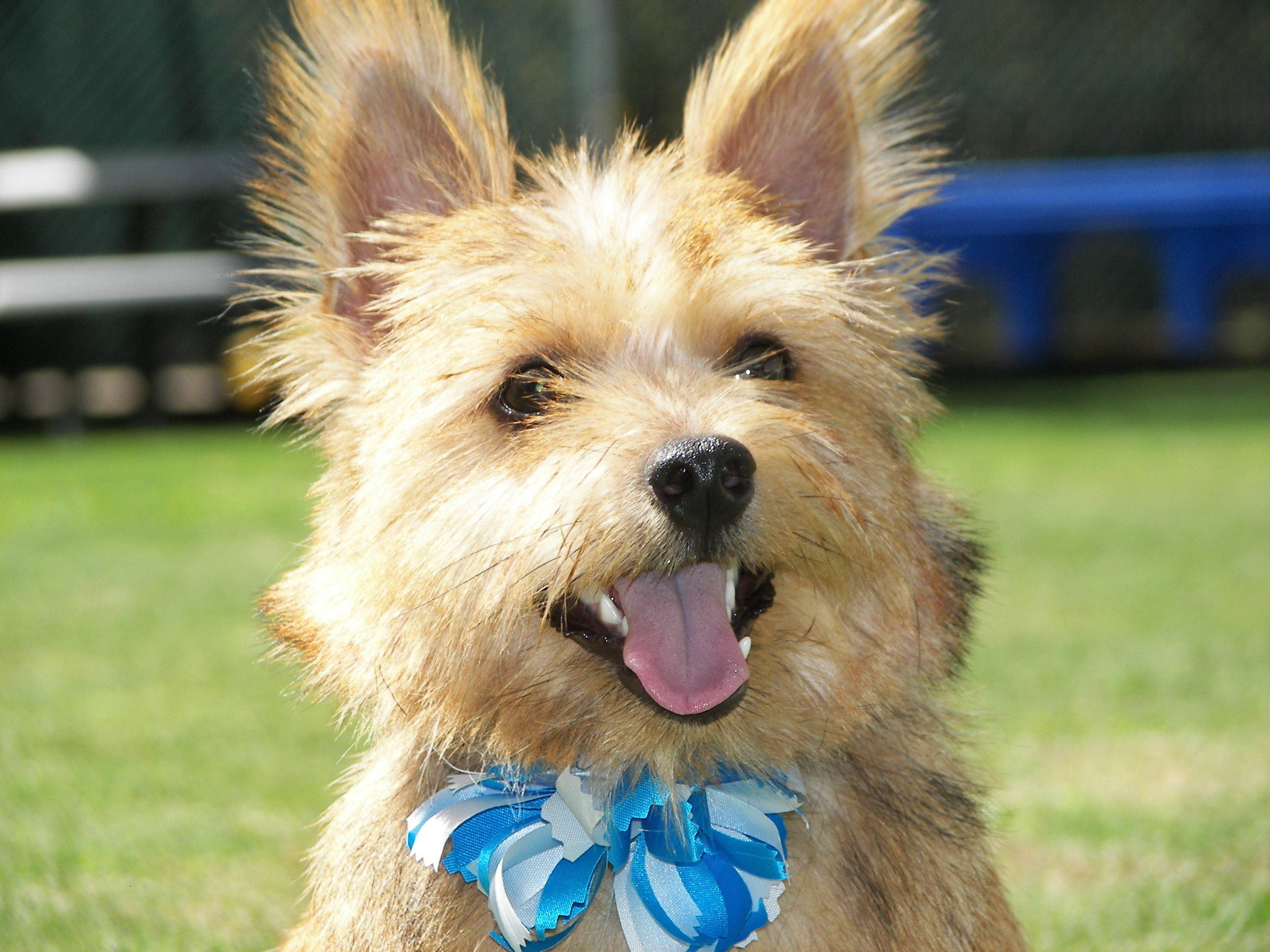 Norwich Terrier with a blue bow wallpaper