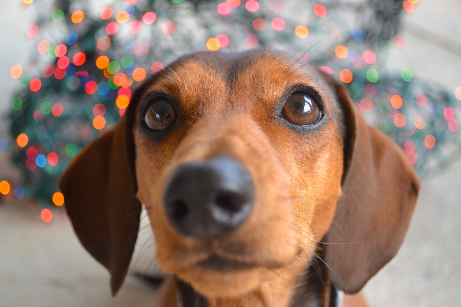 Nosy Dachshund  wallpaper