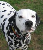 Nosy Dalmatian dog