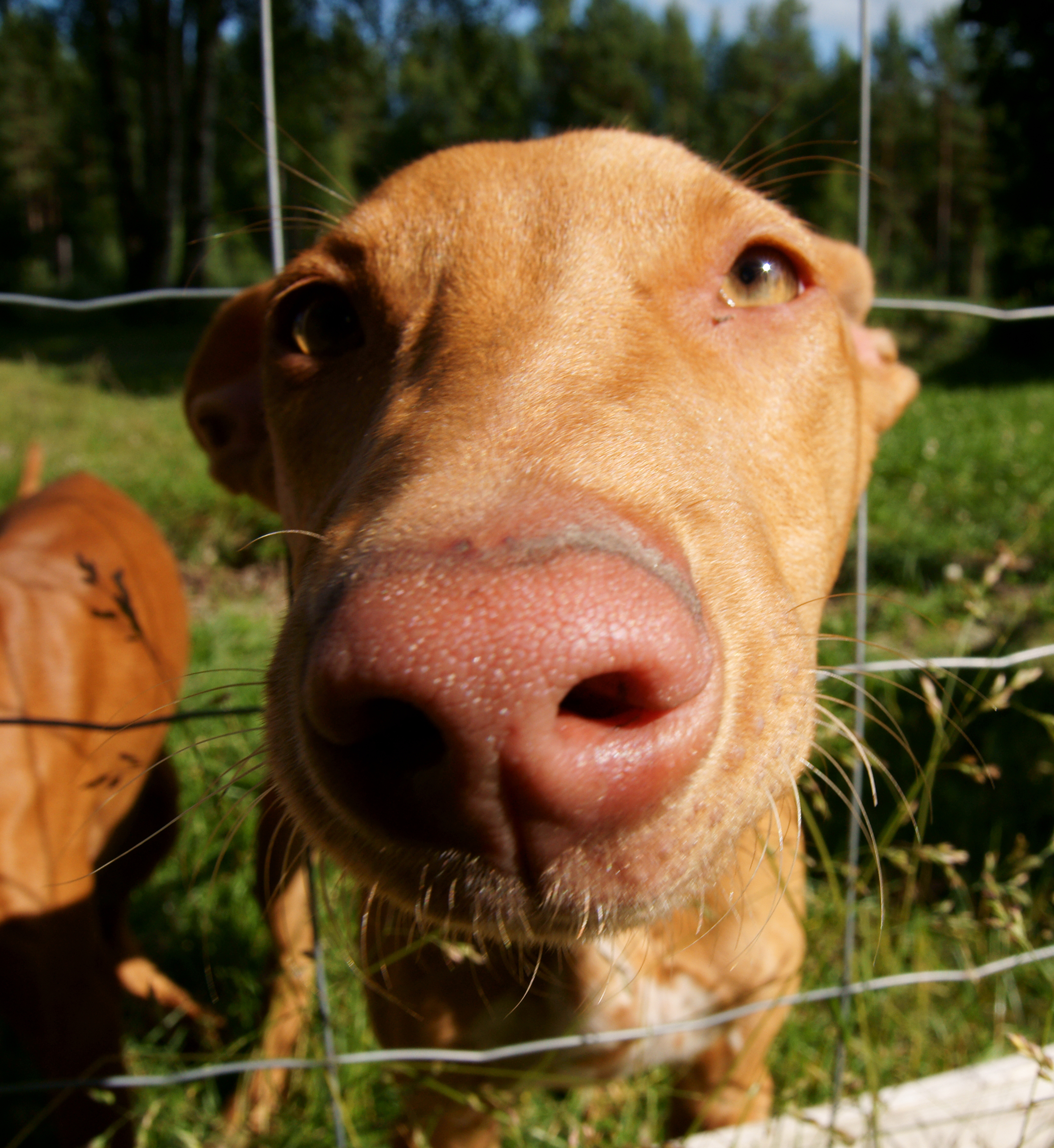 Nosy Pharaoh Hound dog  wallpaper